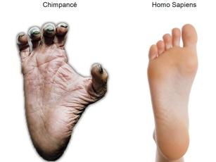 dedo-gordo-chimpance-homo-sapiens